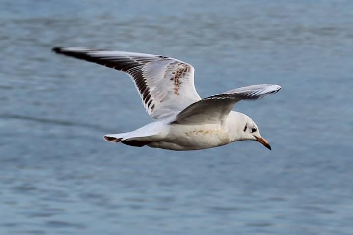 seagull-sounds-river-seagulls